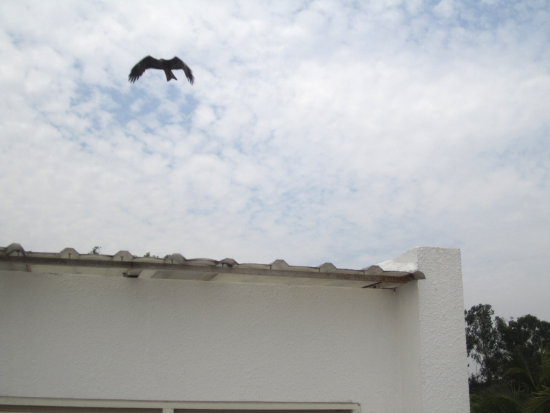 Eagle on my roof