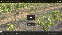 Video: 1 minute holiday: Grapes on the vine